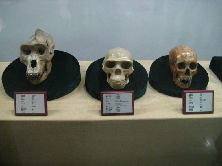 skulls evolution